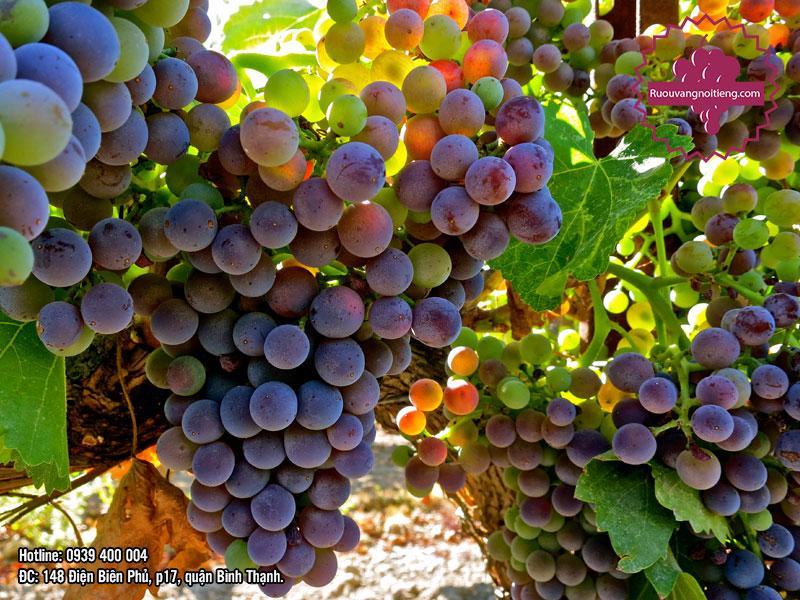 Giống nho Grenache sản xuất Rượu vang Cotes Du Rhone Esprit Barville